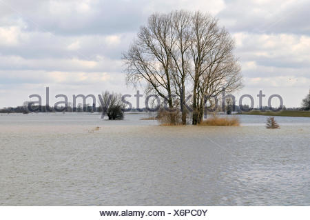 Grey Willow (Salix cinerea) at outer marches during winter with high water, The Netherlands, Overijssel, Nationaal Landschap IJsseldelta - Stock Photo