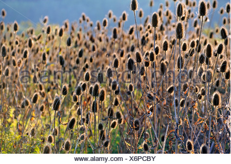 Fuller's Teasel or Common Teasel (Dipsacus fullonum) withering, backlit, Upper Franconia, Bavaria, Germany - Stock Photo
