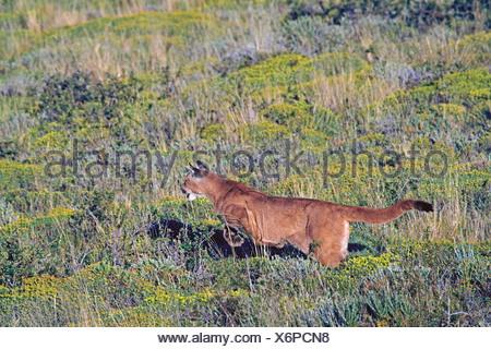Puma, Mountain lion, Cougar (Puma concolor, Profelis concolor, Felis concolor), jumping, Chile, Ultima Esperanza, Torres del Paine National Park - Stock Photo