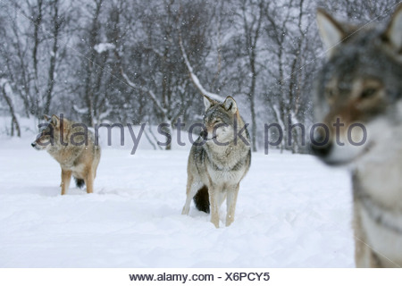 European gray wolf (Canis lupus lupus), three animals standing on a snow-covered plain in front of a forest looking out, Norway - Stock Photo