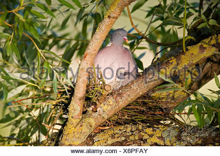 WOOD PIGEON columba palumbus, ADULT WITH CHICK ON NEST, NORMANDY - Stock Photo
