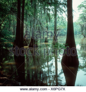 A small bayou with flooded cypresses and Spanish moss Mississipi USA