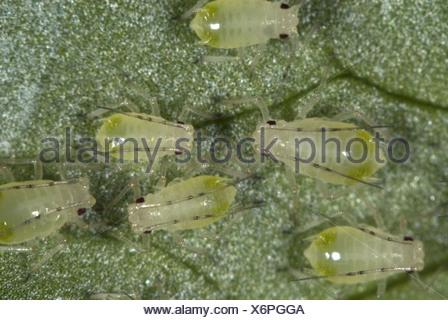 Glasshouse potato aphids, Aulacorthum solani, infestation on kitchen herb, coriander, leaf - Stock Photo
