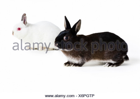 studio shot three rabbits three bunnies - Stock Photo