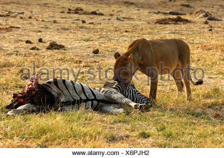 Lioness at a Zebra kill, Savuti Narional Park, Botswana - Stock Photo