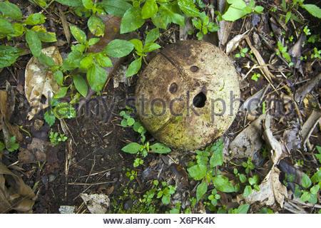 Coconut shell terrified face shaped Pura Luhur Batukau Temple Bali Indonesia - Stock Photo