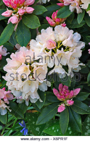 rhododendron 39 golden torch 39 agm stock photo 138823143. Black Bedroom Furniture Sets. Home Design Ideas