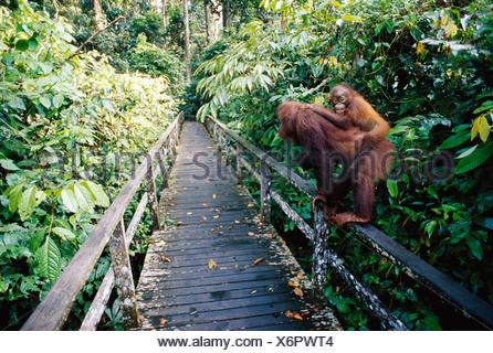 Orangutans Borneo Malaysia - Stock Photo