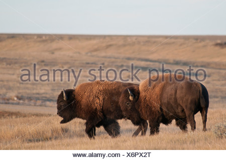 Plains bison (Bison bison bison) grazing in a field, Grasslands National Park, Saskatchewan, Canada - Stock Photo
