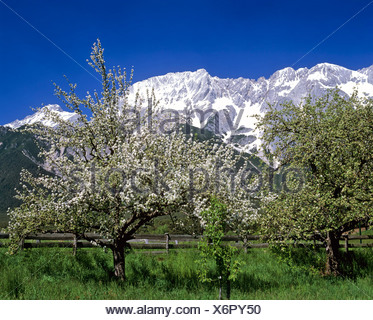 Blooming apple trees, Mieminger Kette, Tyrol, Austria - Stock Photo