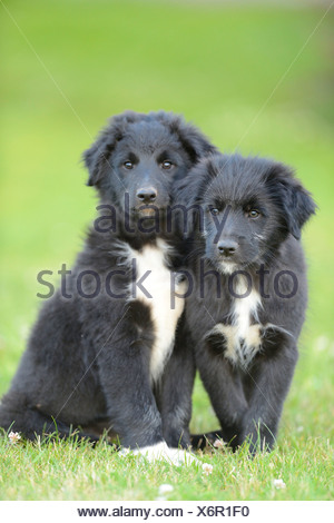Two mongrel puppies sitting in grass - Stock Photo