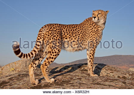 cheetah in the evening light - Stock Photo