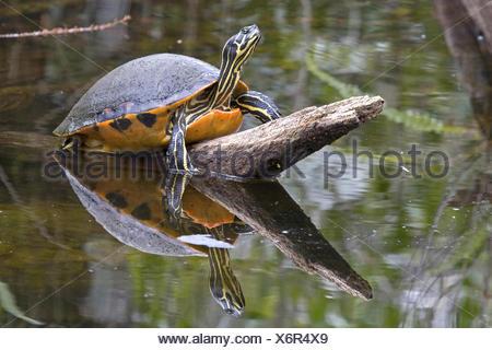 Florida redbelly turtle, Florida red-bellied turtle (Pseudemys rubriventris nelsoni, Chrysemys nelsoni, Pseudemys nelsoni), lying on a branch over a pond, USA, Florida, Everglades National Park - Stock Photo