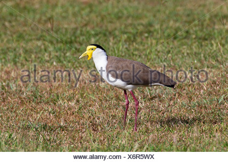 masked plover (Vanellus miles), standing in a meadow, Australia, Queensland - Stock Photo