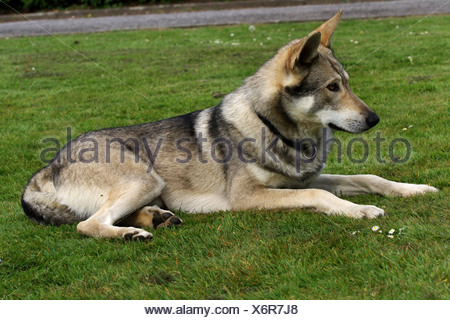 Saarloos Wolfdog (Canis lupus f. familiaris), lying in a meadow, Germany - Stock Photo