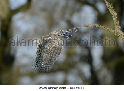 Goshawk - Accipiter gentilis - Stock Photo