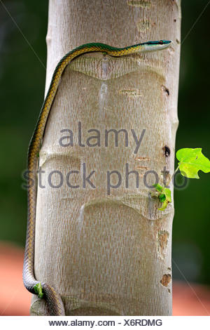 Leptophis ahaetulla, adult on tree, Pantanal, Mato Grosso, Brazil, South America / (Leptophis ahaetulla) - Stock Photo