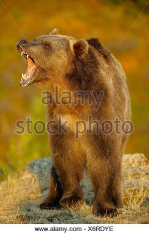 Grizzly bear Ursus arctos- captive snarling - Stock Photo