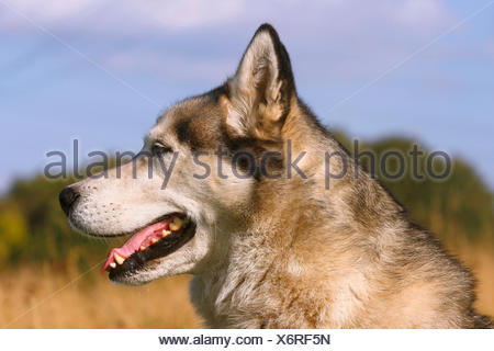 Siberian Husky (Canis lupus f. familiaris), portrait of a four years old male dog - Stock Photo