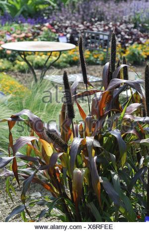 Pennisetum glaucum (Pennisetum glaucum 'Purple Majestic', Pennisetum glaucum Purple Majestic), cultivar Purple Majestic - Stock Photo