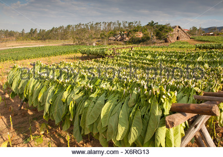 PINAR DEL RIO: VINALES VALLEY TOBACCO FARM WITH TOBACCO DRYING ON RACK - Stock Photo