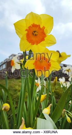Narzisse, Osterglocke (Narcissus spec.), Grosskronige Narzissen, bluehend im Zierrasen, Deutschland | daffodil (Narcissus spec.) - Stock Photo