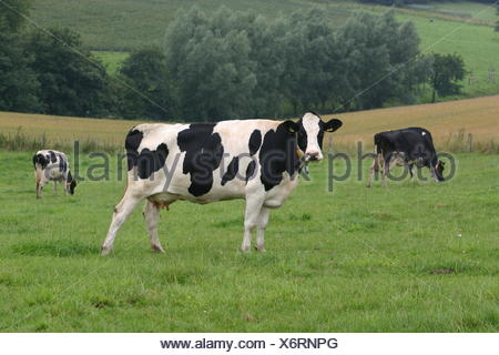 agriculture farming cow livestock cows cattle pastureland stock farming dairy - Stock Photo