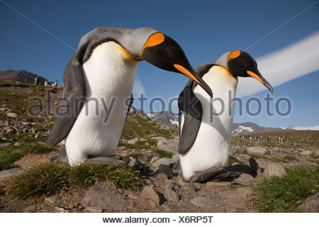 A pair of courting king penguins. - Stock Photo