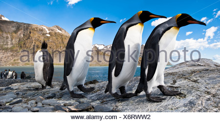 King Penguins at breeding colony, Gold Harbour, South Georgia, South Atlantic. - Stock Photo