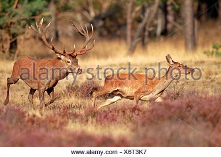 Red Deer, male and female, Hoge Veluwe Nationalpark, Netherlands, Europe / (Cervus elaphus) / rut, rutting season - Stock Photo