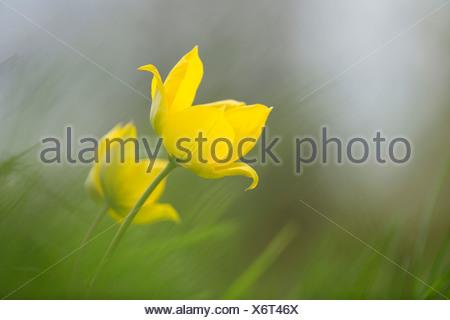 Wild yellow woodland Tulip, Tulipa sylvestris, growing among grass. - Stock Photo