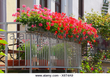 Red flowering geraniums (Pelargonium) in window boxes on a balcony, Bremen, Germany - Stock Photo