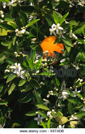 Agriculture - A mature harvest ready orange on the tree surrounded by Spring blossoms / near Orange Cove, California, USA. - Stock Photo