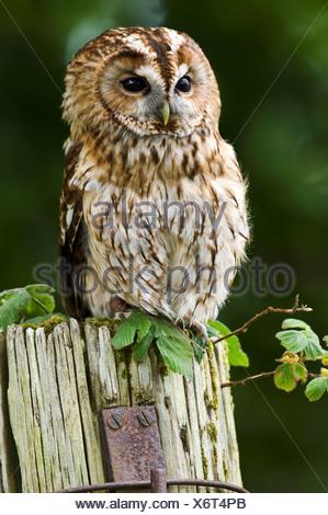 Tawny Owl Strix aluco perching on farmyard post Mull Inner Hebrides Scotland - Stock Photo
