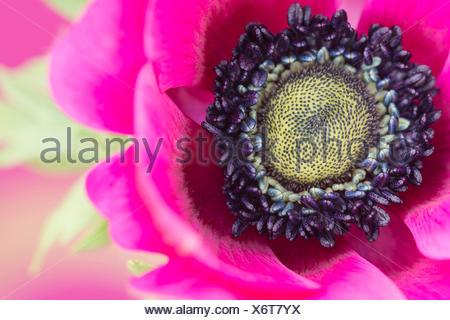 Anemone, Poppy windflower, Anemone coronaria 'De Caen', Single intensly coloured pink flower. - Stock Photo