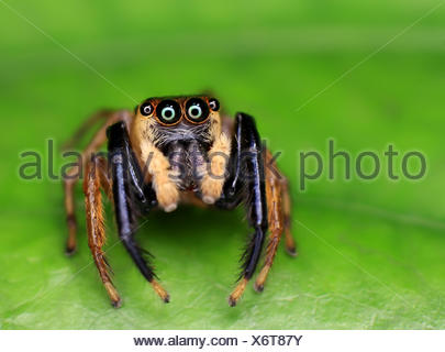 Jumping spider on green leaf, Malaysia - Stock Photo