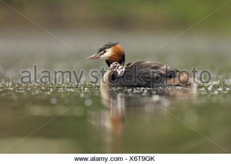 great crested grebes - Stock Photo