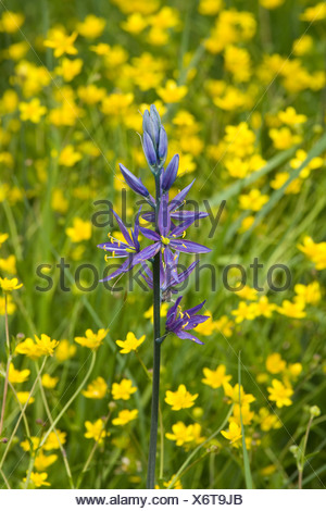 A single purple Camis Lily flower in a field of yellow Buttercups - Stock Photo