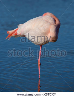 Greater flamingo (Phoenicopterus roseus) standing on one leg in water, resting position, Camargue, Southern France, France - Stock Photo