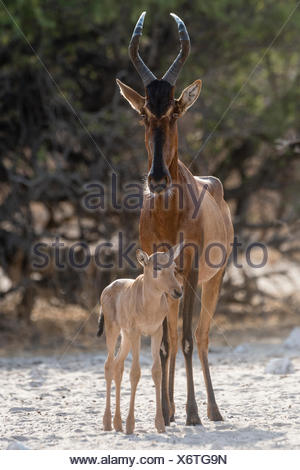 A red hartebeest, Alcelaphus buselaphus,  at waterhole with its calf. - Stock Photo