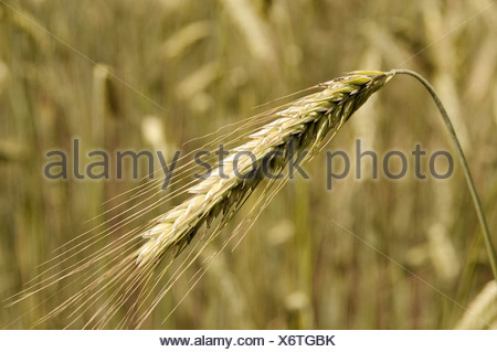 Rye Ear (Secale cereale), autumn-sown rye - Stock Photo