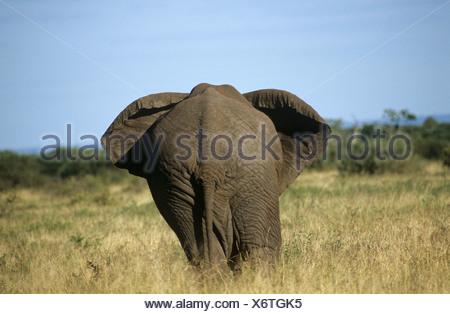 African elephant - from behind / Loxodonta africana - Stock Photo