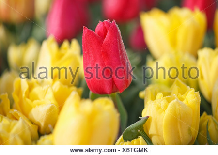 Woodburn, Oregon, United States Of America; A Red Tulip Among Yellow Tulips In A Tulip Field - Stock Photo