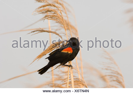 Close-up of a Red-Winged Blackbird (Agelaius phoeniceus) perching on a wheat plant - Stock Photo