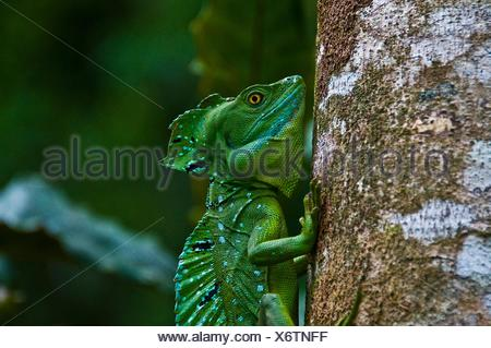 Side view of plumed or double crested basilisk (Basiliscus plumifrons) gripping tree trunk, Costa Rica - Stock Photo
