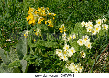 Cowslip Primula veris flowering plants with primroses in a grass bank Devon - Stock Photo