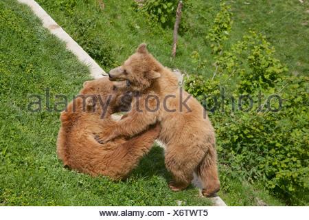 Bears, Bear pit, Bern, canton, Bern, animals, animal, zoo animal park, bear, bears, Switzerland, Europe, animals, - Stock Photo