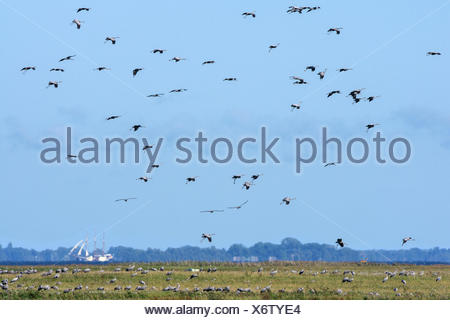 Common Cranes flying over bodden, Mecklenburg-Hither Pomerania, Mecklenburg-Western Pomerania, Germany, (Grus grus) - Stock Photo