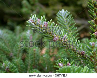 Korean fir (Abies koreana), branch - Stock Photo