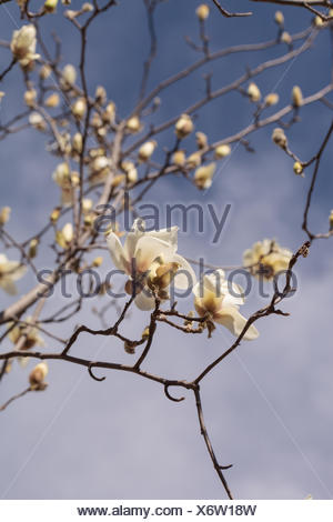 White Magnolia Flower Magnolia Cylindrica Blooms In A Tree Stock